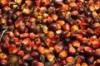 El aceite de palma, girasol y aceite de Jatropha para la venta
